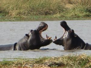 hippos.ap