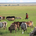 Maasai-Cattle-grazing-in-the-reserve-