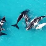 whalewatching grootbos