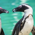 African penguin or Jackass penguin (Spheniscus demersus)