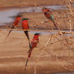 More carmine bee eaters