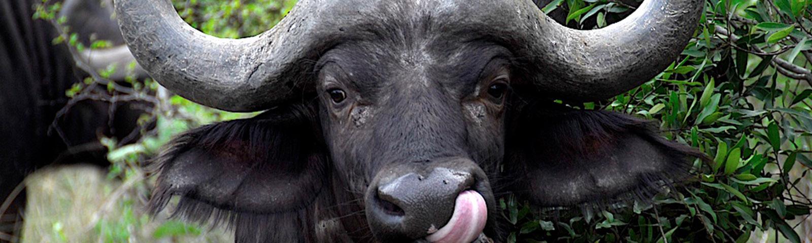 burack-buffalo-stare