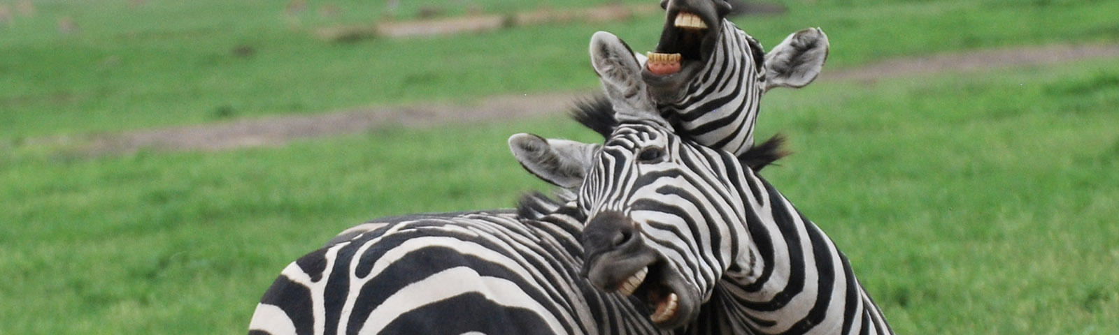 fernandes-zebra-pair