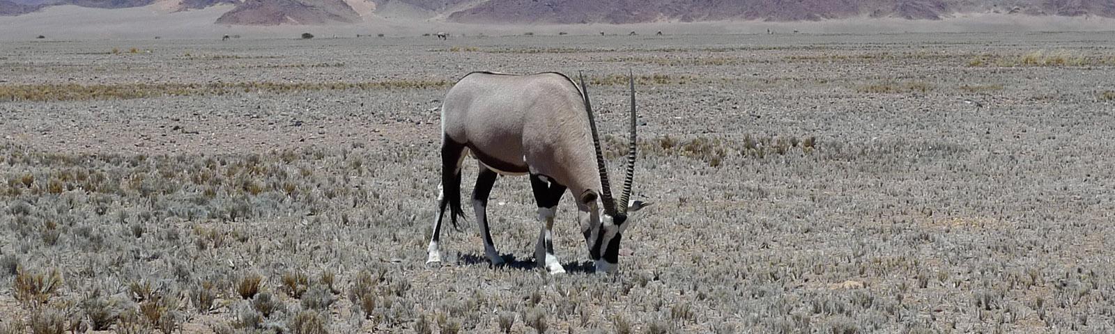 namibia-oryx