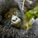 Baby-Gorilla.jpg