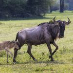 A Wildebeest mother and newly born calf, Ngorongoro Crater