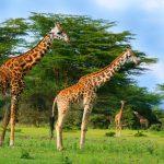 Family of wild giraffes