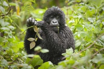 Virunga Lodge-gorilla