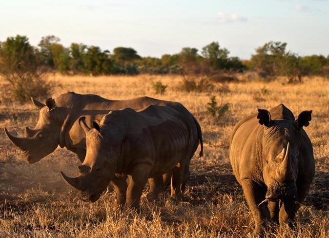 Singita Pamushana rhino