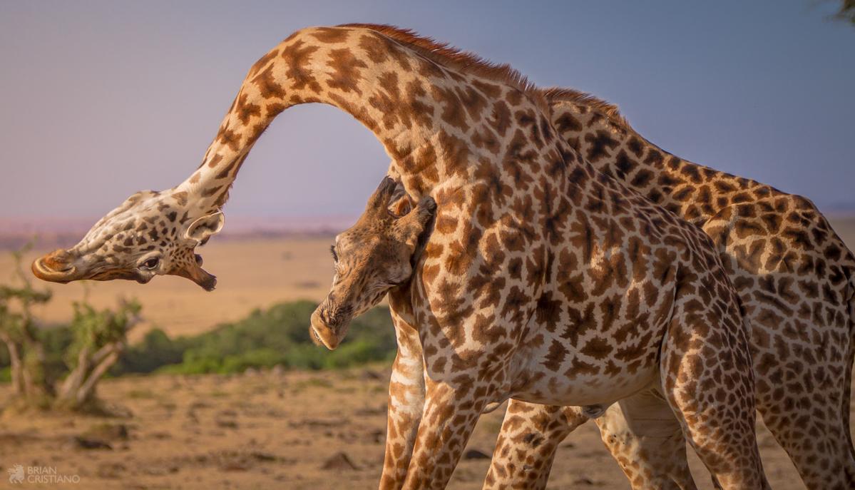 Cristiano Mara Giraffe Fighting IMG_0733