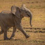 Baby Elephant - Mara