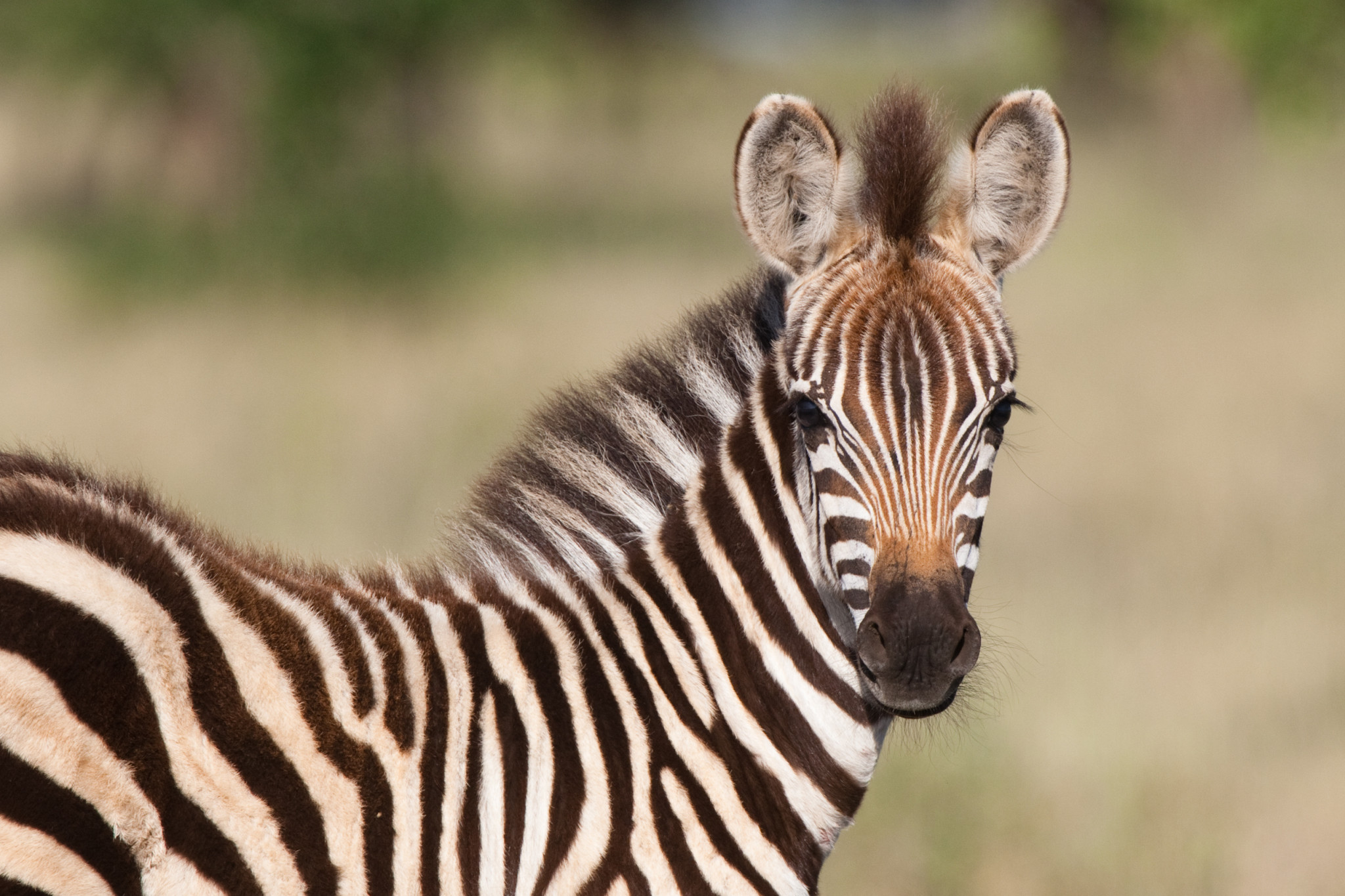 Baby zebra - dollar photo