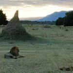 Ruckomechi Lion - Zambia Escarpment