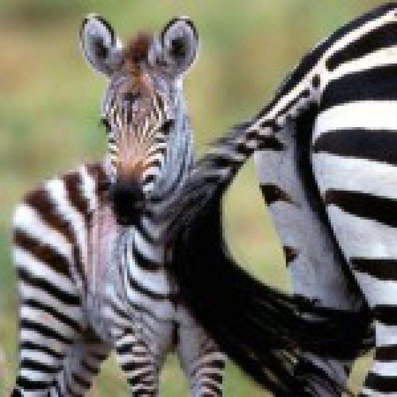 baby-zebra-1-150x150.jpg
