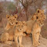 go-african-safari-lion-cubs-nt
