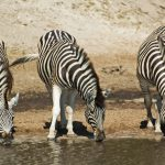 Burchells zebra