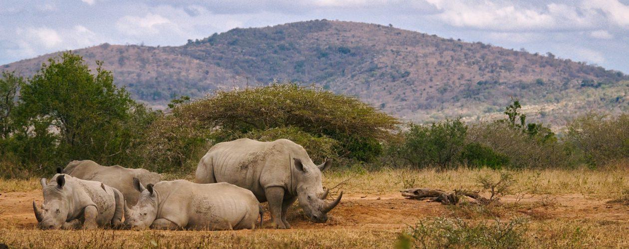 The Big 5 - Rhinos
