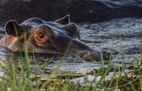 Hippo 7 - Hallum
