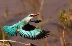 Woodlands Kingfisher3